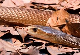 Gentle Inland Taipan